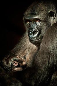 gorila_cabarceno